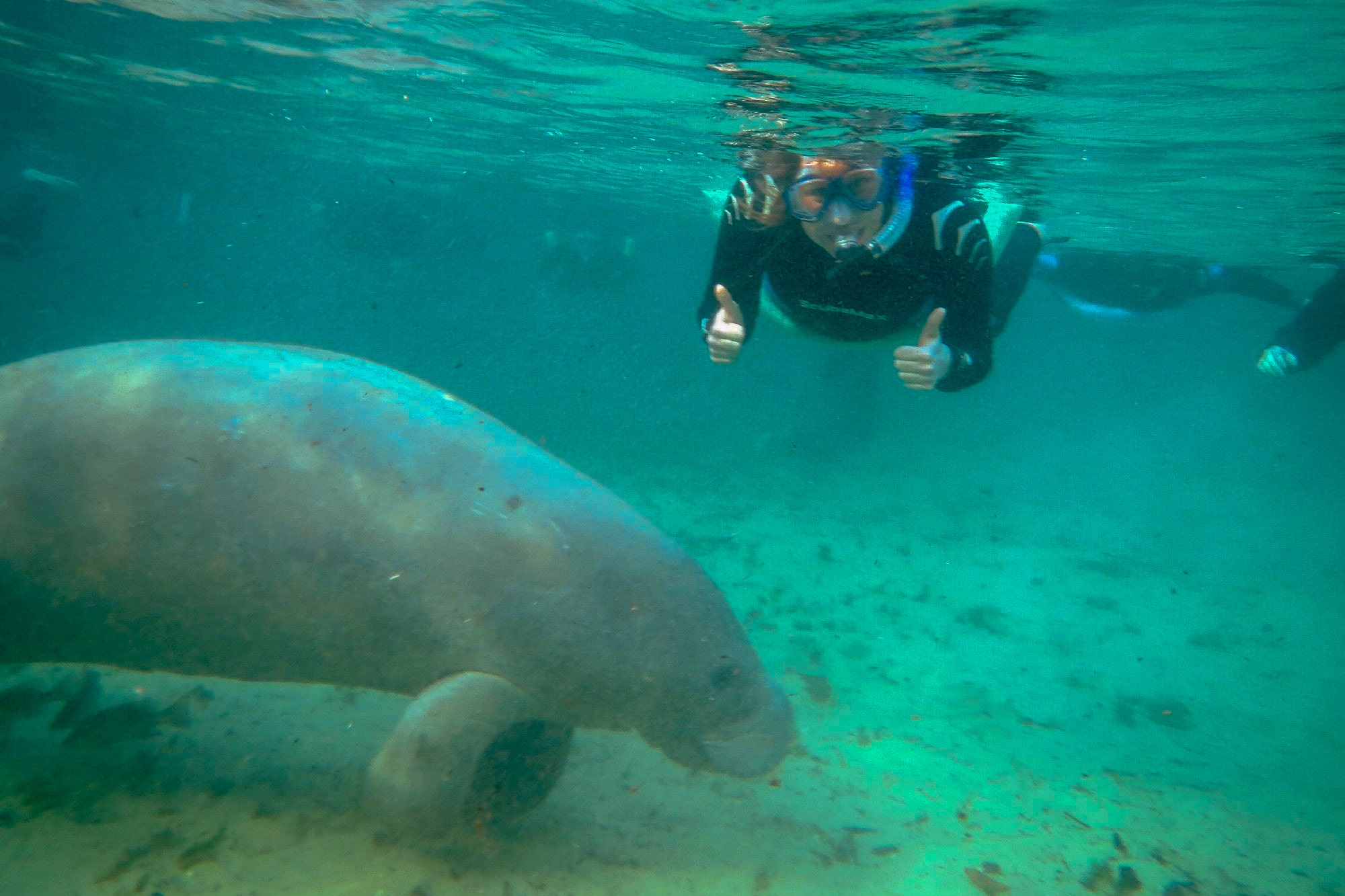 diver viewing a manatee