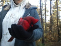 Kaylee Gentry with Northern Cardinal